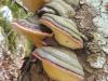 drevesne-gobe-ob-poti-na-lac5a1c48dak